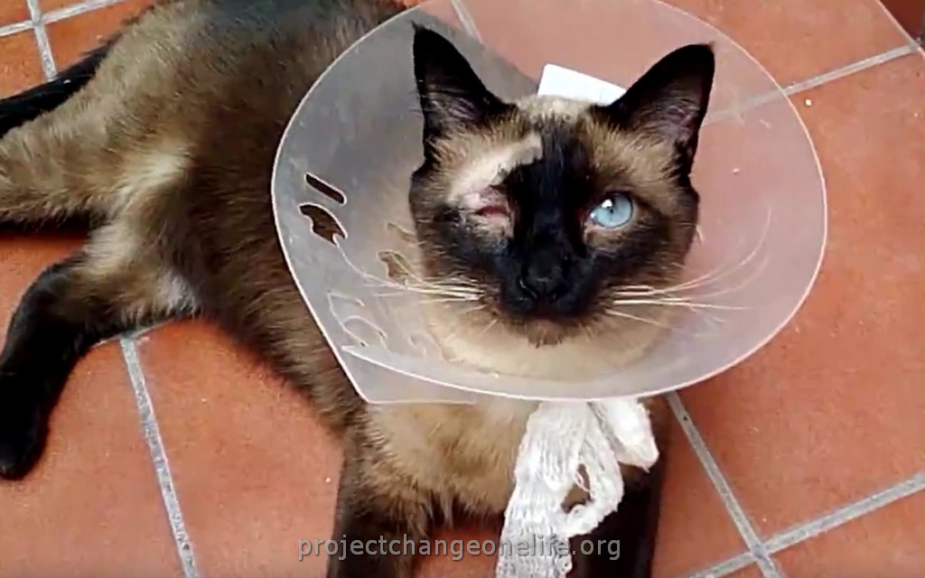 How To Protect Cat Eye After Corneal Ulcer