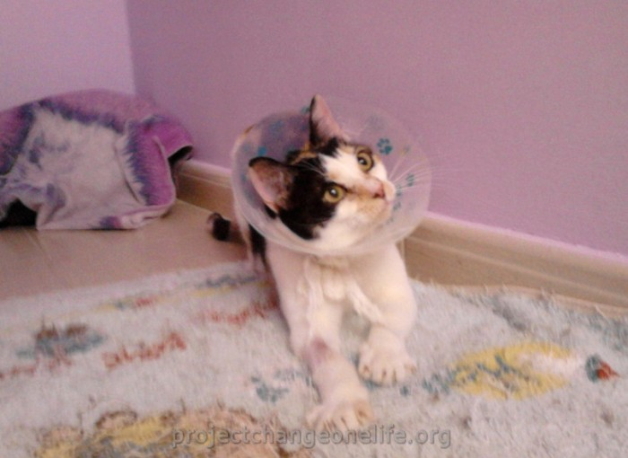 Cat Recovery After Urinary Blockage Site Thecatsite Com