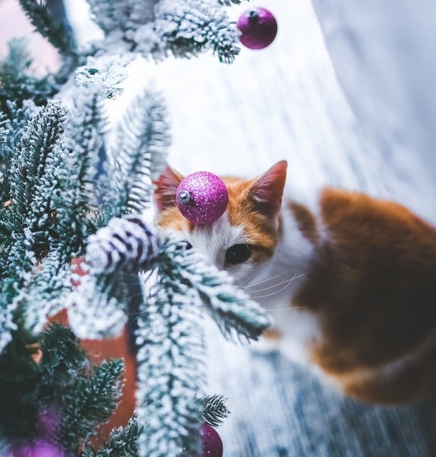 Are Christmas Trees Bad For Cats: Are Christmas Trees Poisonous To Cats?