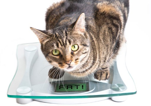 Is your cat FAT or FIT?