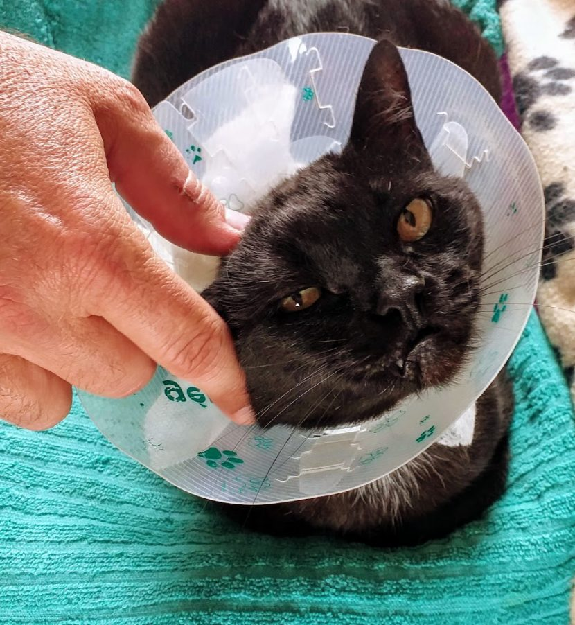 FeLV+ rescue Negrita rushed to the vet hospital after a large infected wound was found in her anal area.